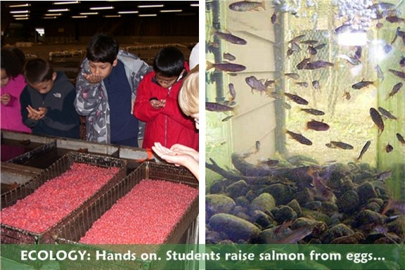 Ecology: we raise salmon from eggs